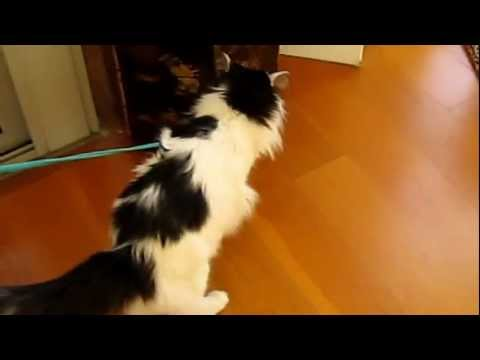 The perfect leash for a cat!