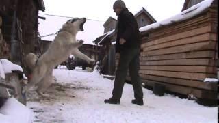 Turkmen Alabaj guarding TEST 7 - Central Asian Shepherd Dog