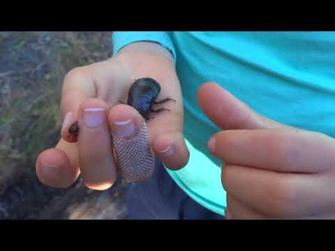 AwA Australian Wood Cockroach and Centipede