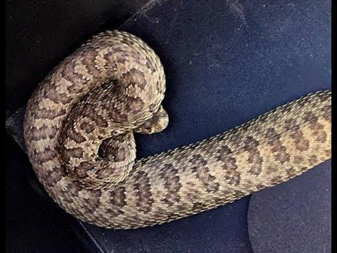 Neighbors Both Have Rattlesnakes