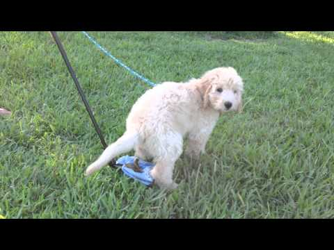 2.5 month old Golden Doddle - 11 lbs - CatchaPoo.com