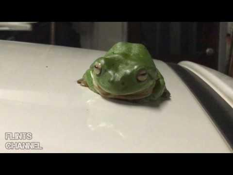 GT86 picks up Green Tree Frog