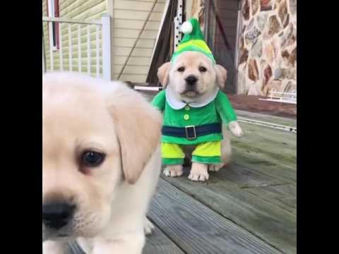 Adorable Golden Labrador Puppy Wears Elf Costume for Christmas