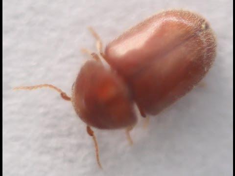 Lasioderma serricorne (cigarette beetle)