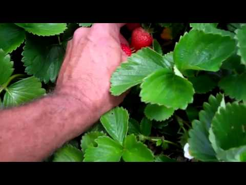 Pests in your Strawberries