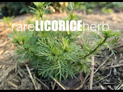 How to grow licorice herb, tastes exactly like real licorice !!!