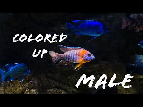 African Cichlids: Colors and Sexing