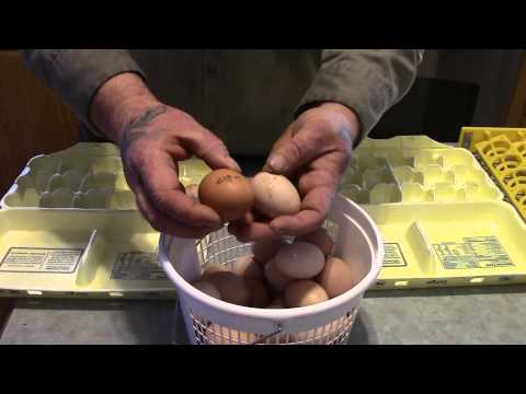 Selecting Eggs for Incubation/Hatching