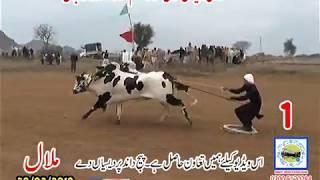 Bul Race In Pakistan Sunny Video Fateh Jang 20 01 2019 NO1 Haji Rayiz