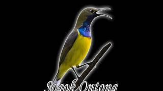 sogok ontong hd