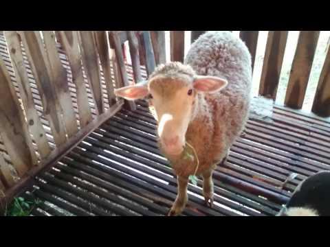 Peternak kambing super merino asli