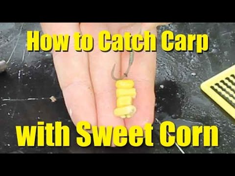 Best carp baits: sweetcorn. How to catch carp with sweetcorn