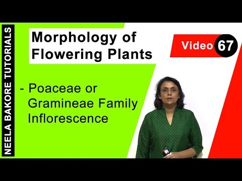 Morphology of Flowering Plants - Poaceae or Gramineae Family Inflorescence