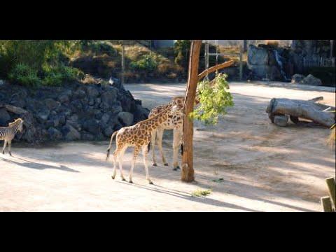 How do you transport a giraffe across the ditch?