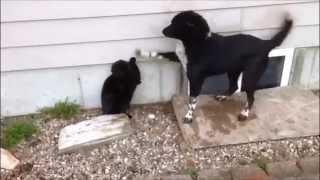 Epic Battle: Farm Dog Surrenders war to Farm Cat