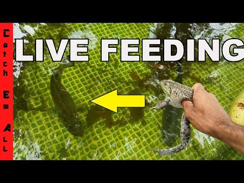 FEEDING PET BASS LIVE BULL FROG and Live Eel in Amazing Homemade Pool Pond
