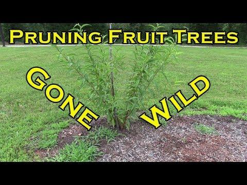 Pruning Fruit Trees Gone Wild