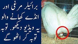 If You Eat Broiler Chicken And Eggs, Watch This Video