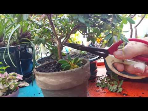 Bonsai Root & Trunk Training
