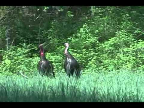 Two toms walk right up! A Rocky Branch Outfitters Turkey Hunt