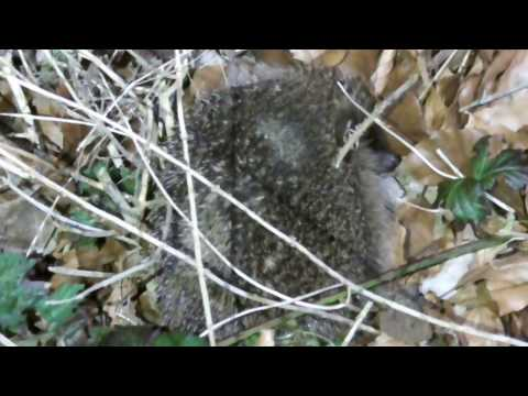hedgehog ,   may have been disturbed from hibernation to early