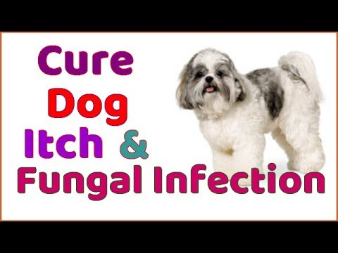 How to Cure Dogs Itch & Fungal Infection 🐶