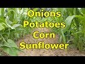 Corn, Sunflowers, Onions, And Potatoes ... OH MY!! - 2018