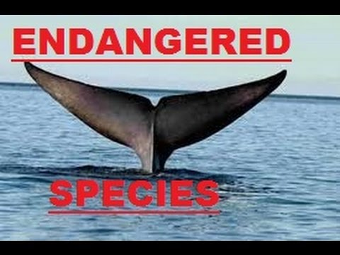 DON'T WATCH (SCHOOL PROJECT): SAVE THE BLUE WHALES