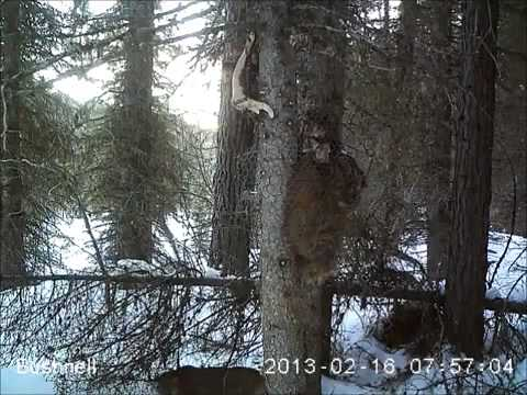 mountain lions - game camera bait station