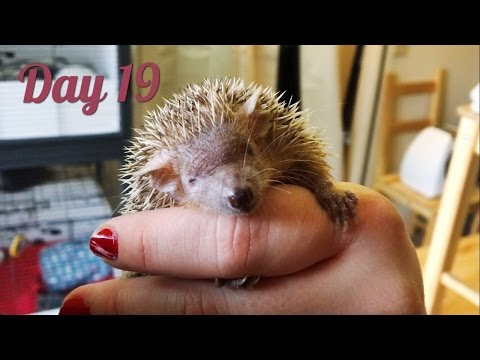 Sleepy Tenrec & Christmas Cages for the Hedgehogs! (Vlogmas #19)