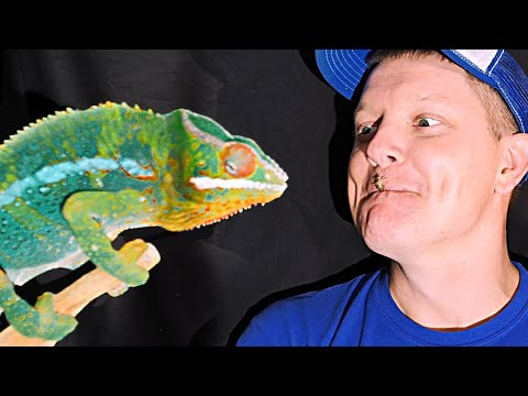 A Chameleon Tongue Crushing Crickets in Slow Motion (20,000 fps) | Smarter Every Day 180