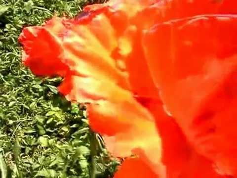 Opium Poppy Flowers Blooming