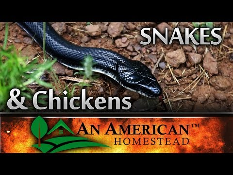 He Wanted The Chicken Eggs - Snakes and Chickens