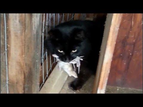 Cat Stuffs 5+ Mice. AMAZING!