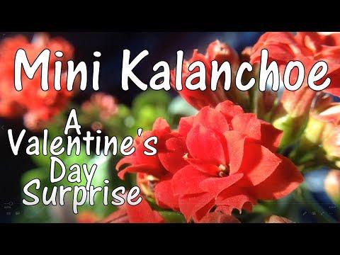 Mini Kalanchoe Flowers - A Valentines Day Surprise!