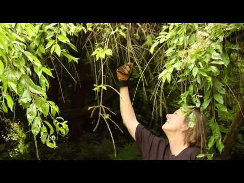 How to Prune a Mature Weeping Cherry Tree - Video Tutorials with Plant Amnesty