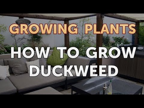How to Grow Duckweed