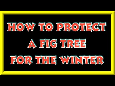 How To Protect A Fig Tree For The Winter