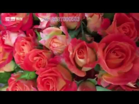 where to buy the High quality Fresh cut flowers, Roses,Spray Roses,Carnations,Lily with Low price?
