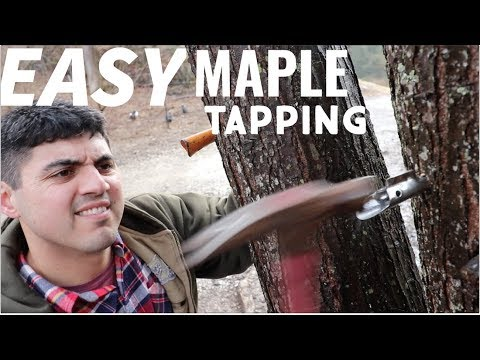 2 Easy Ways to Tap Your Maple Trees for Maple Syrup