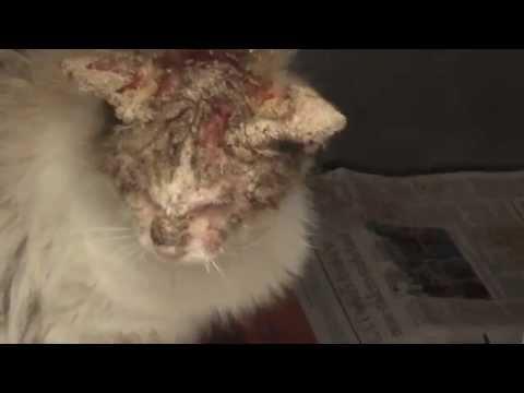 cat with horrible mange