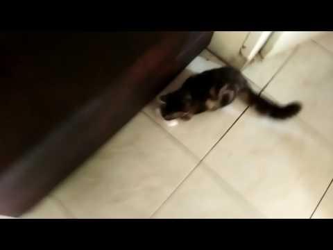 kucing maling softex