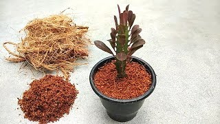 Hand made coco peat and grow cactus in coco peat | Grow from cuttings