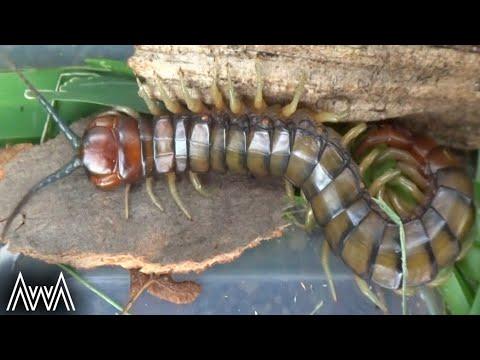 AwA Scolopendridae Centipede