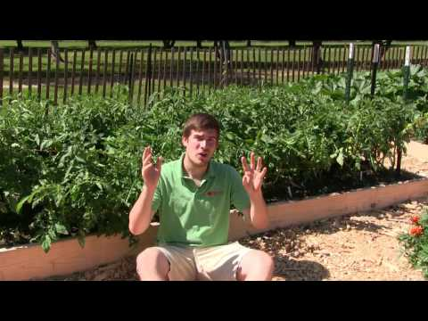 2 Simple & Organic Methods to Prevent, Kill, & Combat Blight on Tomatoes