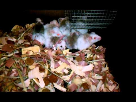 African Soft furred rats breeding.