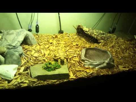 Baby Sulcata Tortoise eating