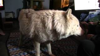 Wolfdog howls in the house.