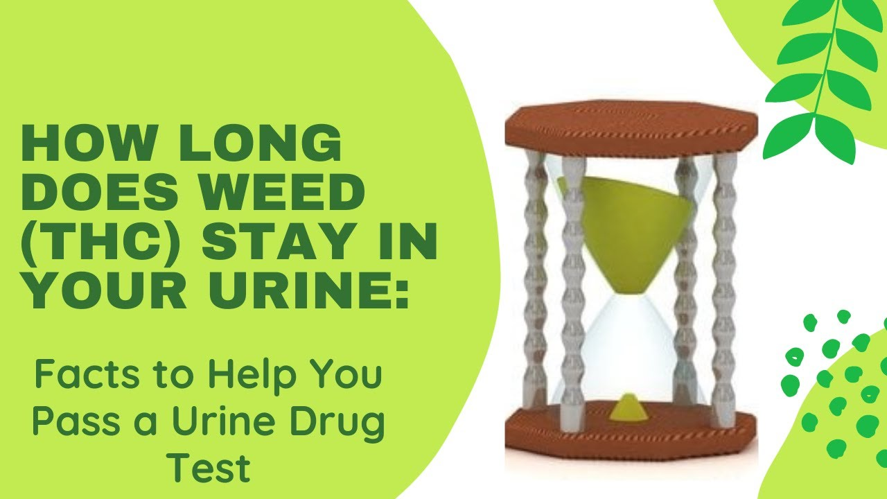 How Long Does Weed (THC) Stay in Your Urine'– Facts to Help You Pass a Urine Drug Test in 2021!!!