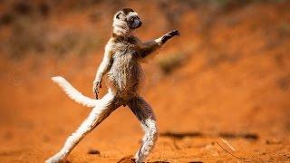 The Dancing Verreaux